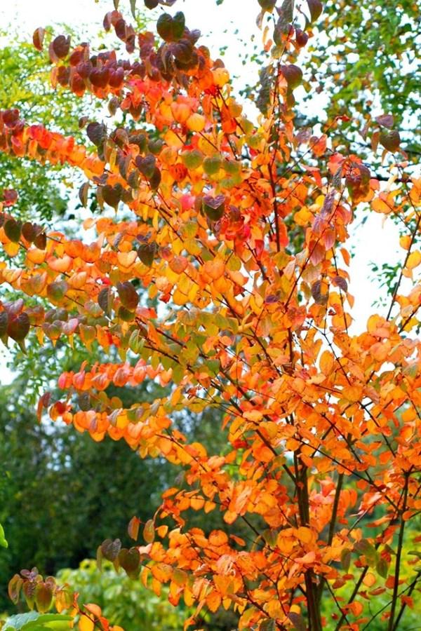 Cercidphyllum jacponicum with autumn colour