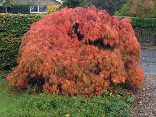 An Acer ablaze with autumn colour.
