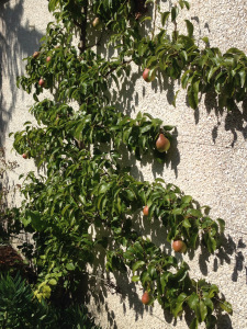 Pear tree trained on sunny garage wall