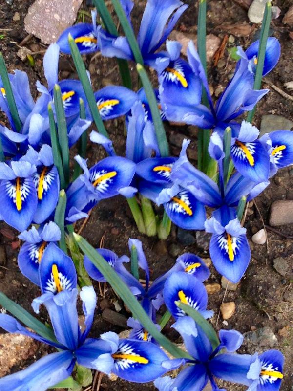 Iris Reticulata 'Ailda' by Polley Garden Design