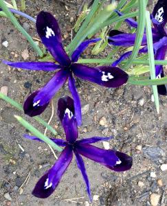 Iris reticulata 'Blue Note' in March 2016
