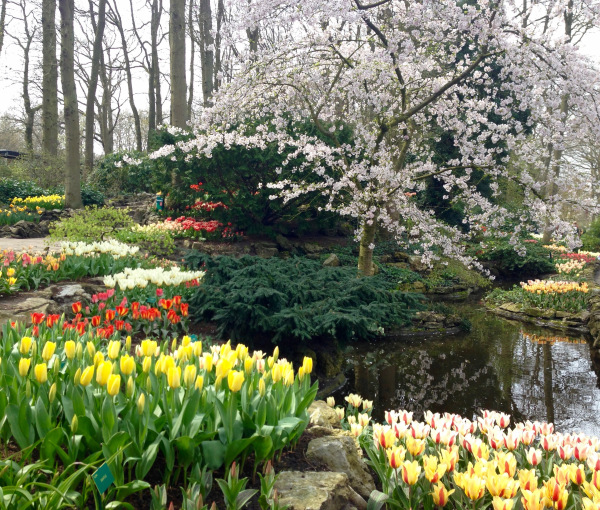 Cherry blossom and tulips at Keukenhof.