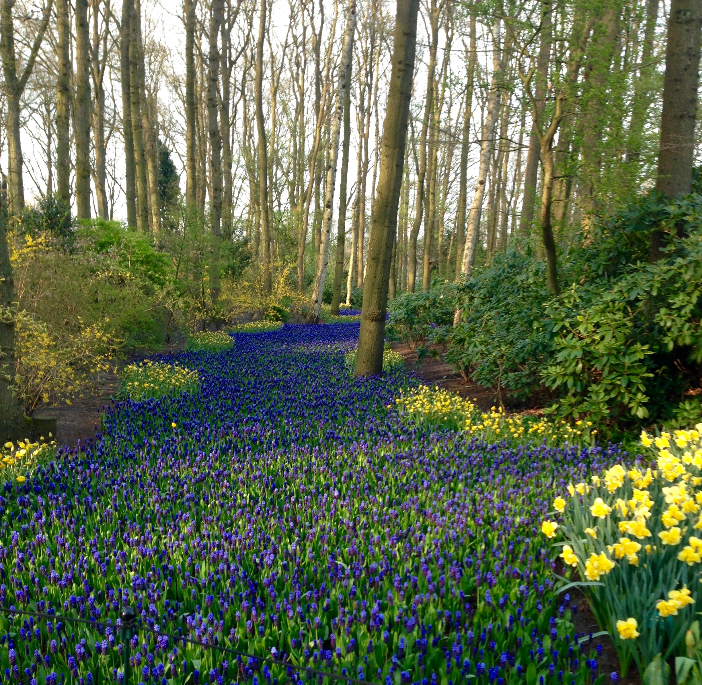 At Keukenhof a planting of a sea of blue Muscari and yellow Daffodils.