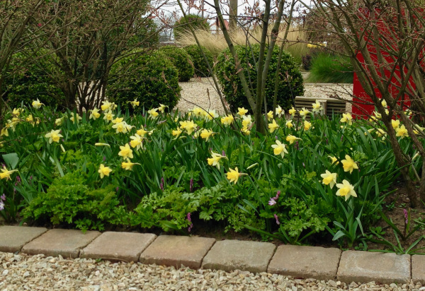 Polley Garden Design - spring narcissus flowering