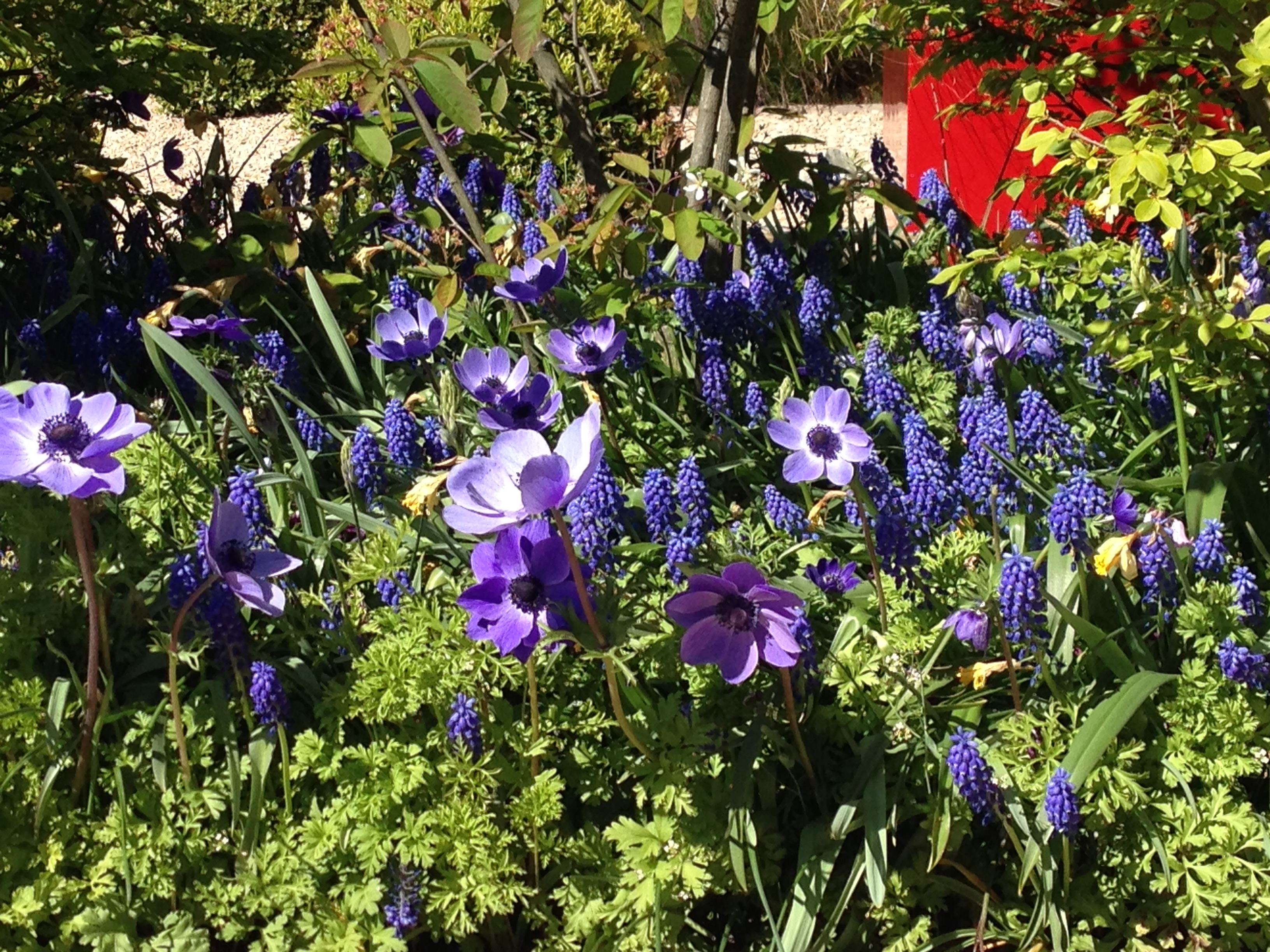 Polley Garden Design Muscari and Anemones flowering in May.