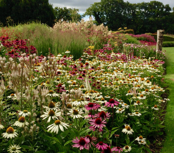 pink and white Echinacea