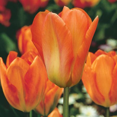 tulips orange emperor