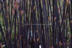 Purple-barked Dogwood (Cornus alba kesselringii) Image: thanks to Ashridge Trees.