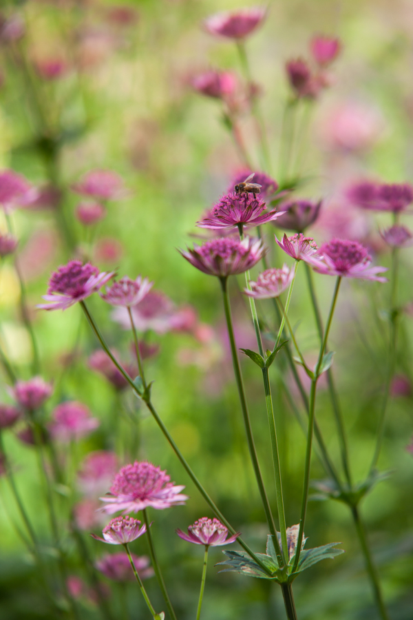 Astrantia with bee on flowers