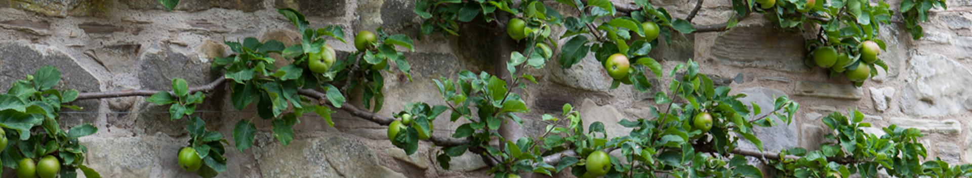 Gallery - espaliered apple tree along a stone wall