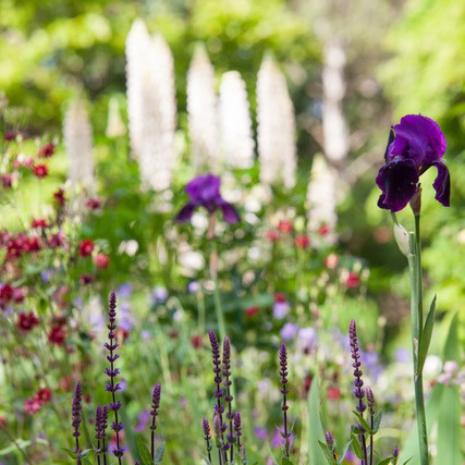 Planting Plans - Mixed bed with iris and lupin