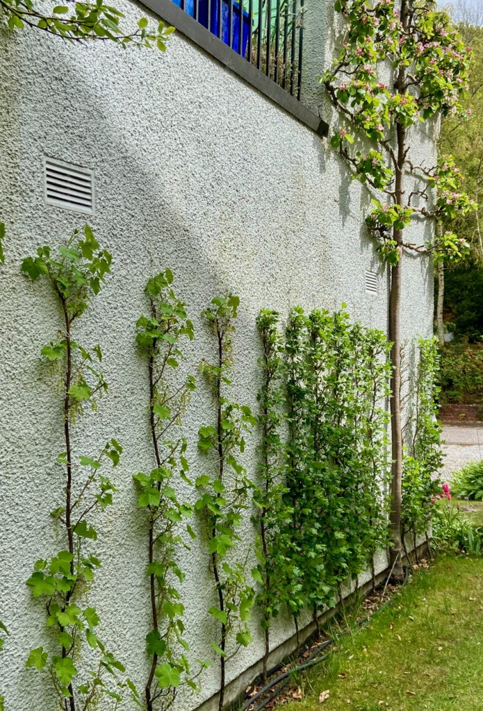 Trained fruit on house wall