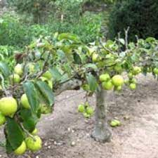 stepover fruit hedge
