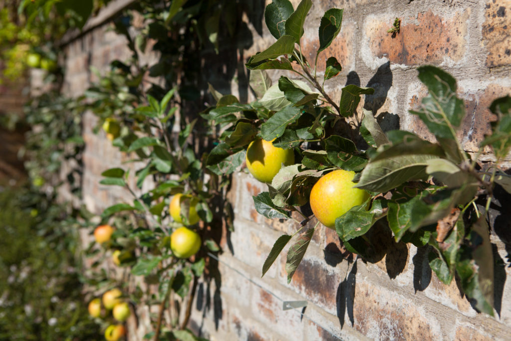 ripe apples on wall